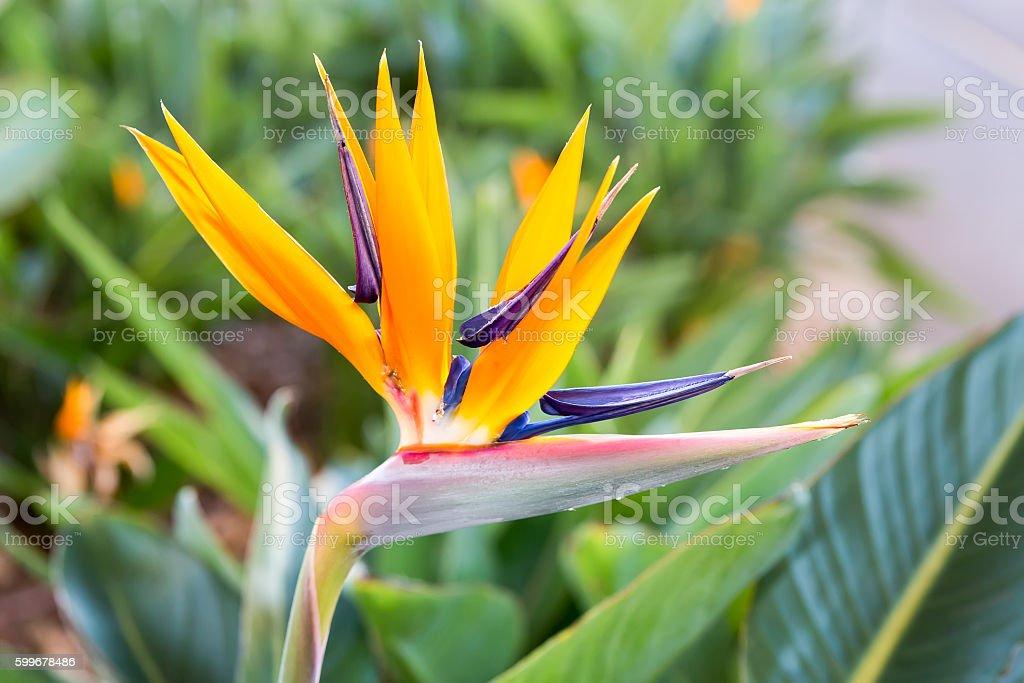 Close up Crane flower or Strelitzia reginaei - foto de stock