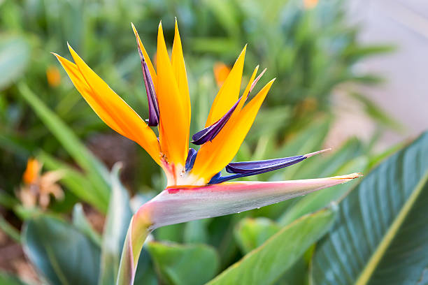 Close up Crane flower or Strelitzia reginaei stock photo