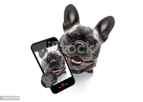 curious french bulldog dog looking up to owner taking a selfie or snapshot with mobile phone or smartphone