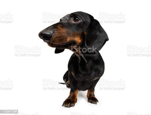 Close up curious dog view picture id1132617295?b=1&k=6&m=1132617295&s=612x612&h=tap9ytqrp1z2q9dfthmglkkogifmj4bkxnaptaencmq=
