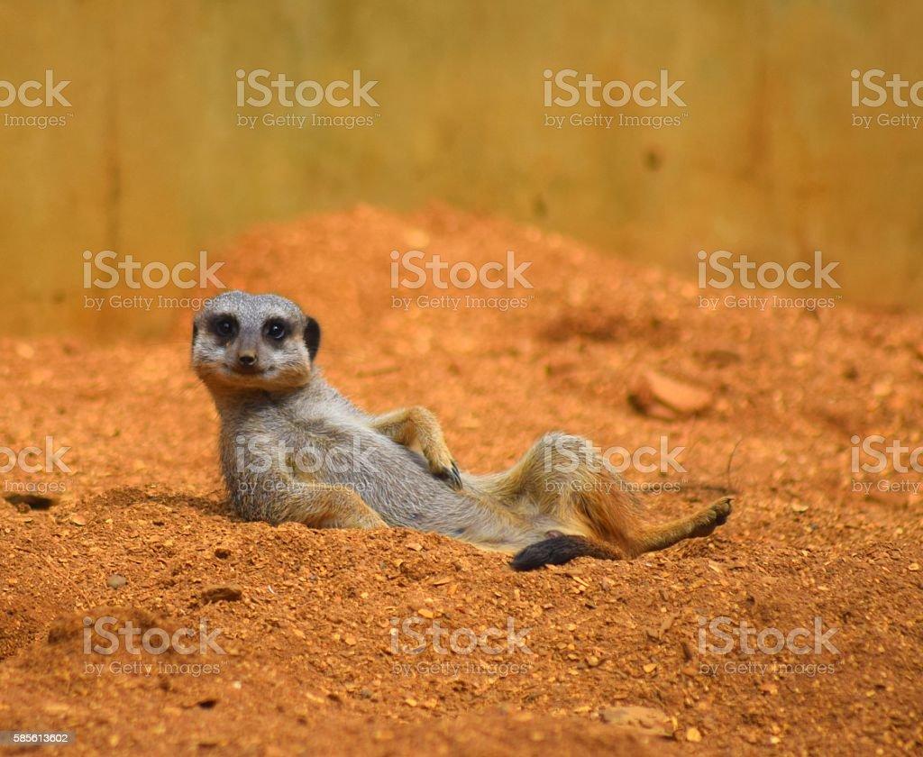 close up cute meerkat animal relaxing in the dessert foto de stock royalty-free