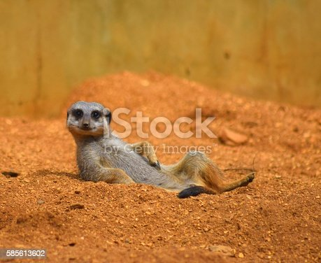 istock close up cute meerkat animal relaxing in the dessert 585613602