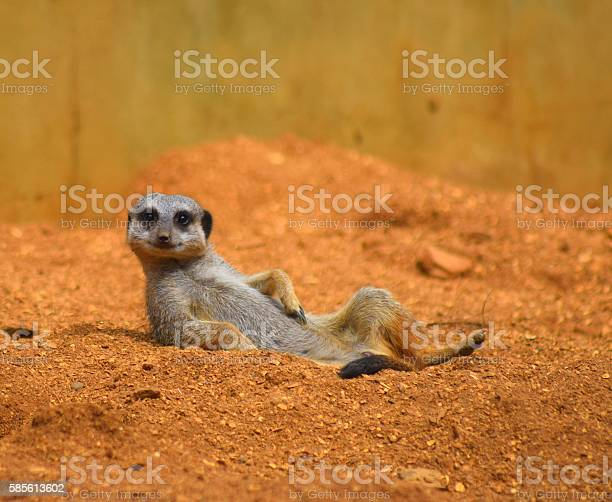 Close up cute meerkat animal relaxing in the dessert picture id585613602?b=1&k=6&m=585613602&s=612x612&h=4w3plszyciq7jxky7qzutw9mdzhxrljk4l8hciqkltm=