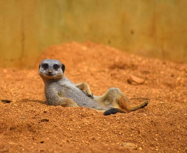 Close up cute meerkat animal relaxing in the dessert picture id585613602?b=1&k=6&m=585613602&s=612x612&w=0&h=a18wau1m00wjnknakft4jkhxlij2dmgozpzh3tm2g5s=