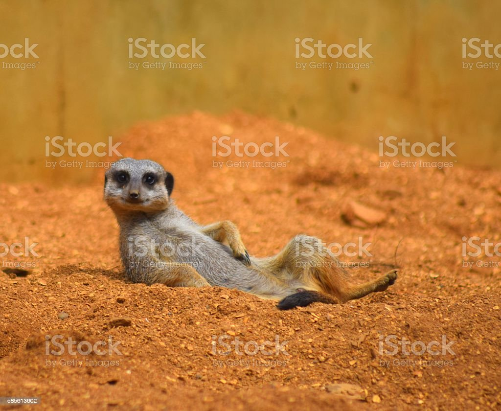 close up cute meerkat animal relaxing in the dessert stock photo