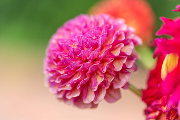 Close up Dahlia Photograph. Pink pom-pom flower with blurred background. Floral background image. stock photo