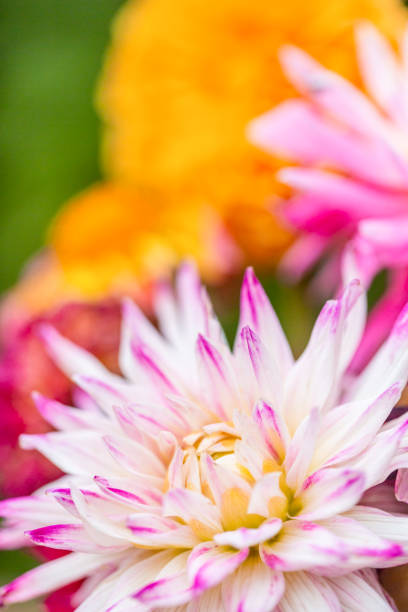 Close up Dahlia Photograph. Pink, white and yellow flower with blurred background. Floral background image. stock photo