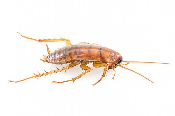 close up dead cockroach on white - barata americana - fotografias e filmes do acervo