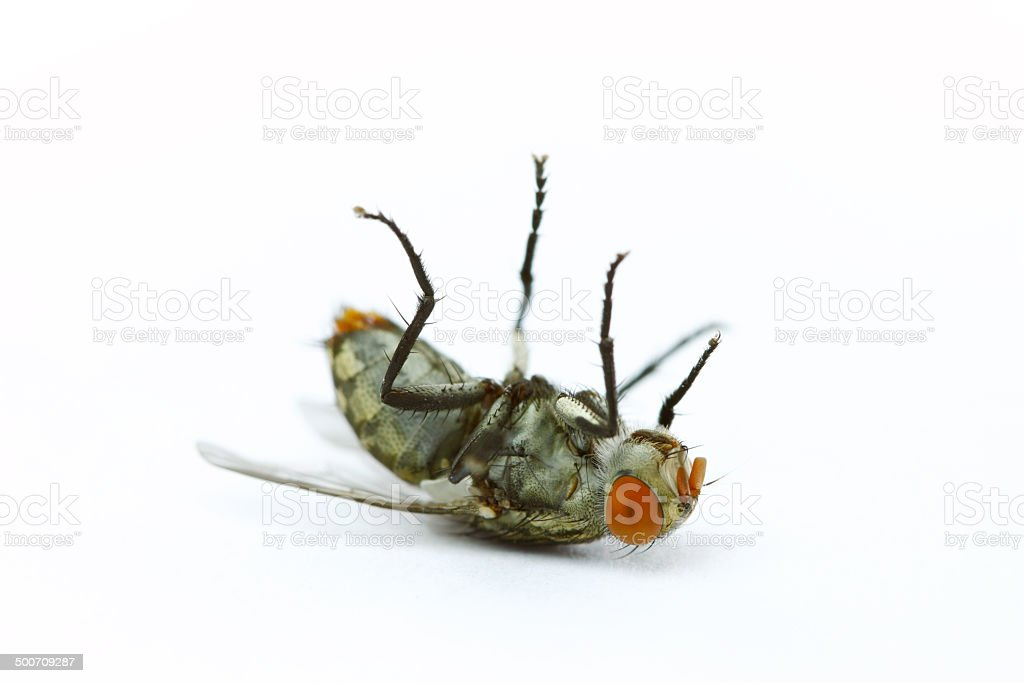 Close up dead fly on white background - Royalty-free Animal Stock Photo