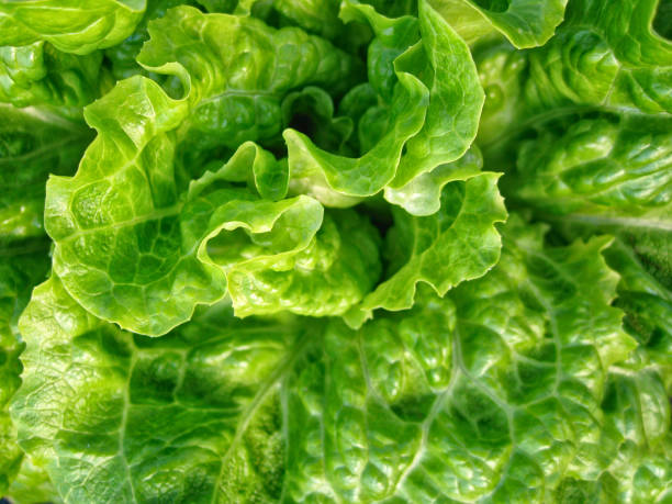 close up detail lettuce - lettuce stock photos and pictures