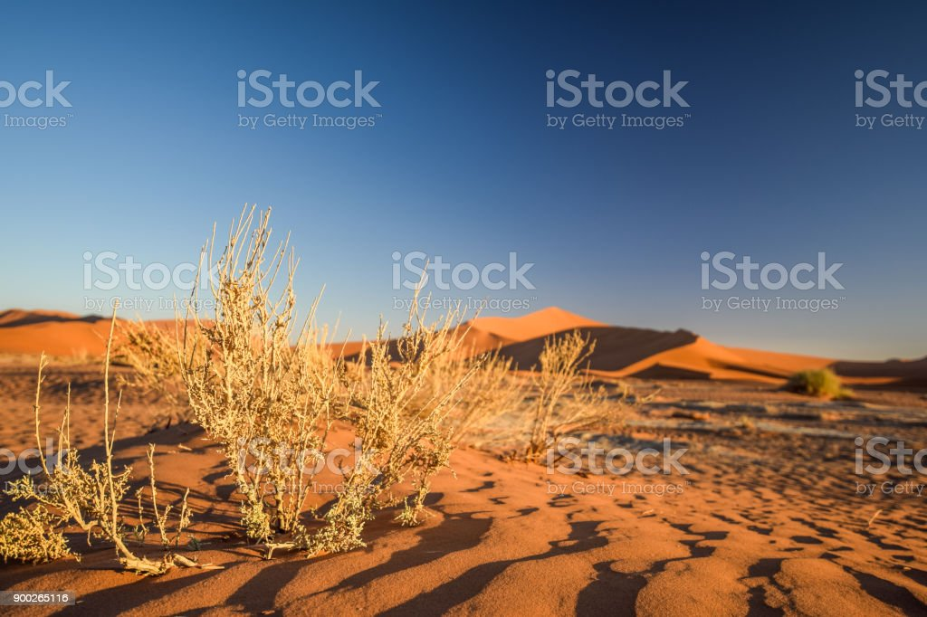 Close up detail of dead grass bushes in Sossusvlei near Sesriem in Namib Desert in Namibia, Africa. Beautiful red sand dunes in the background. Sossusvlei is a popular tourist destination. stock photo