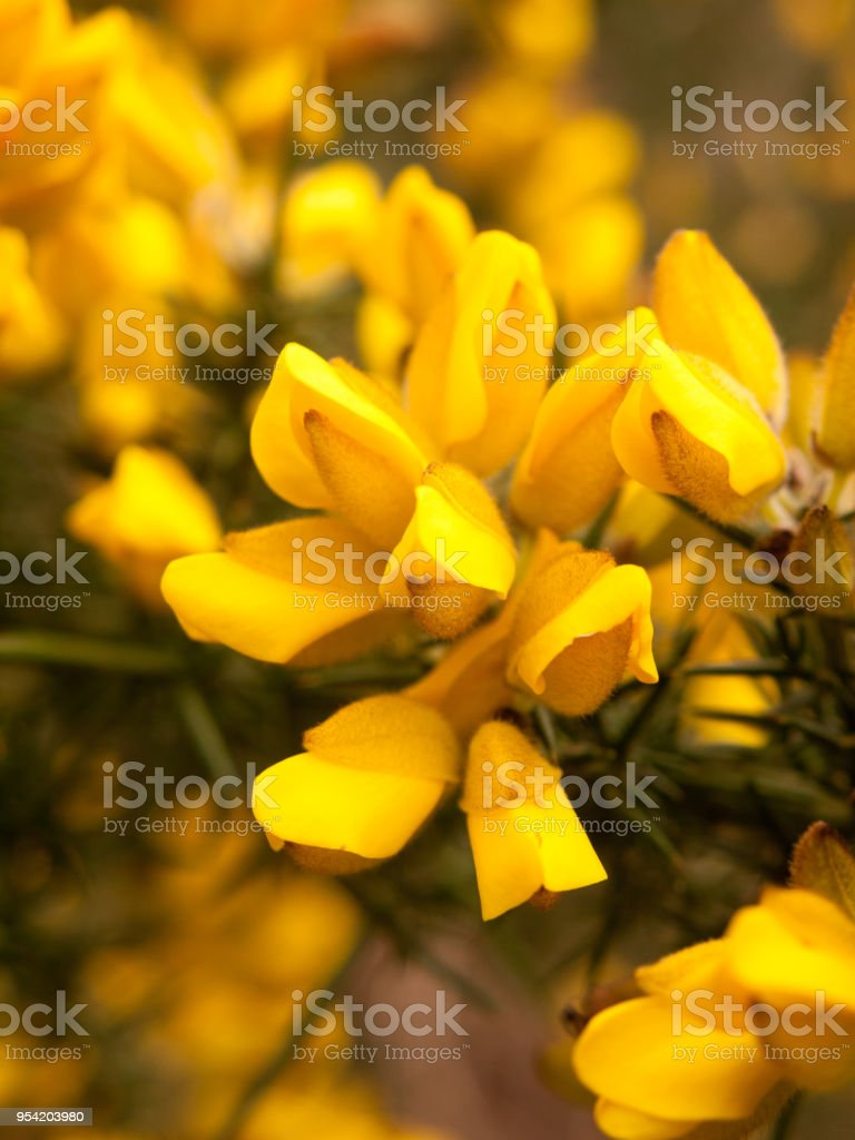 Close Up Detail Of Yellow Gorse Broom Flower Heads Macro Stock Photo