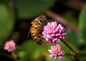 buzzing bumblebees drinking nectar on big blue echinops / globe thistle