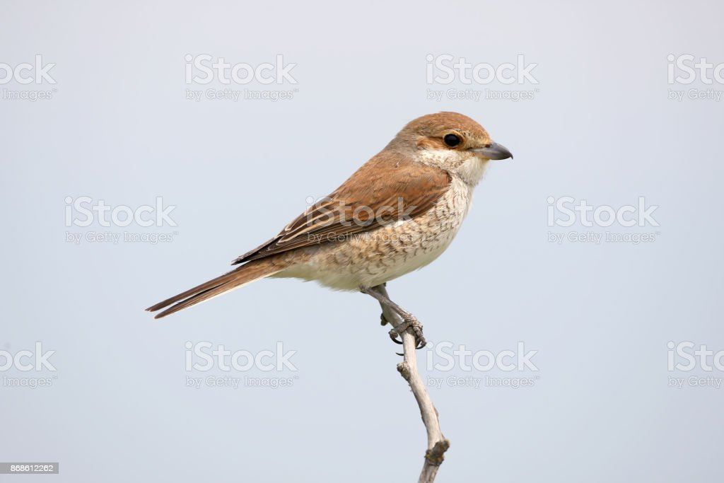 Close up detailed portrait of female red backed shrike on the sky background. stock photo