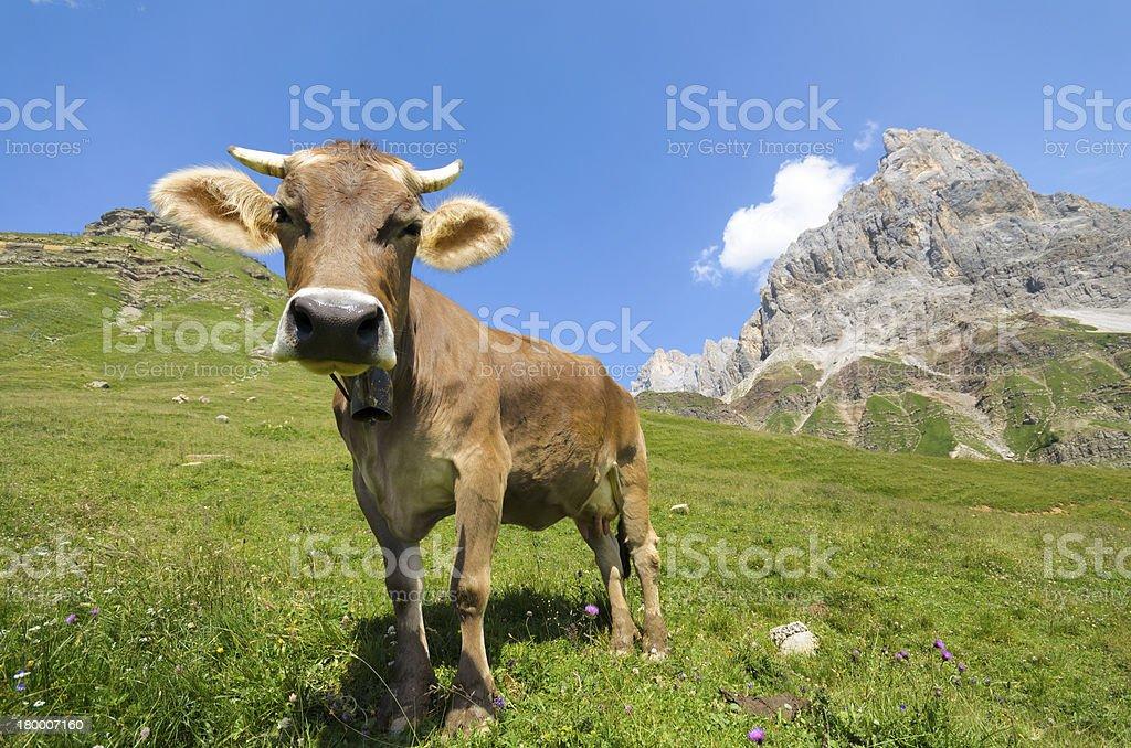 Close up di mucca al pascolo in montagna royalty-free stock photo