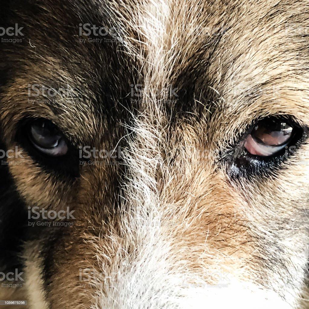 Close up dog eyes ,looking straight