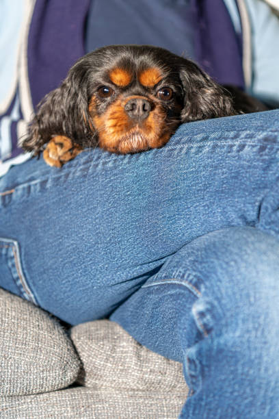 Close up dog on her owner's lap. stock photo