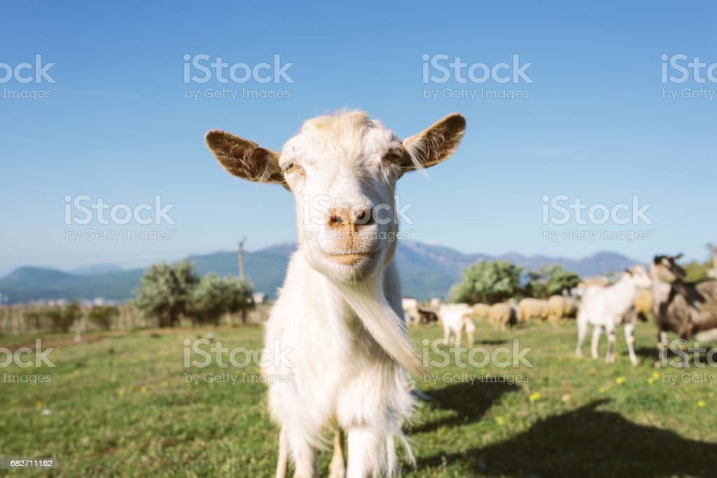 Close Up Domestic Goat Snout stock photo