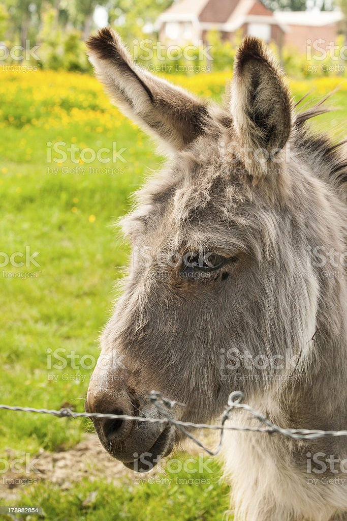 Close up donkey in a Field on sunny day royalty-free stock photo