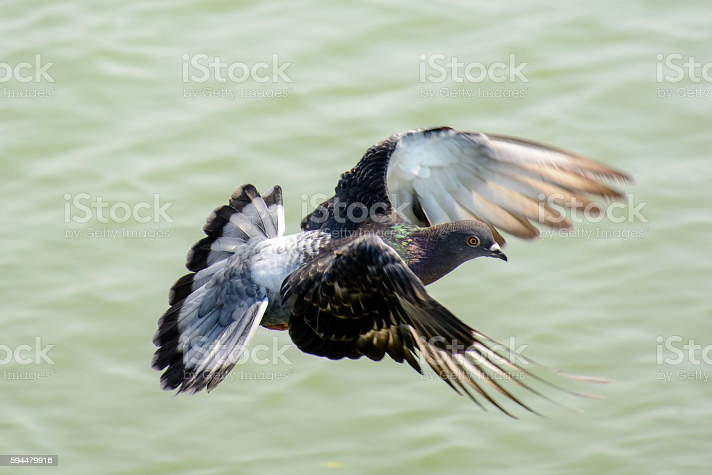 Close Up Dove Flying above Green Lake stock photo
