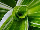 Close up Dracaena loureiri leaf is a soft peak spiral