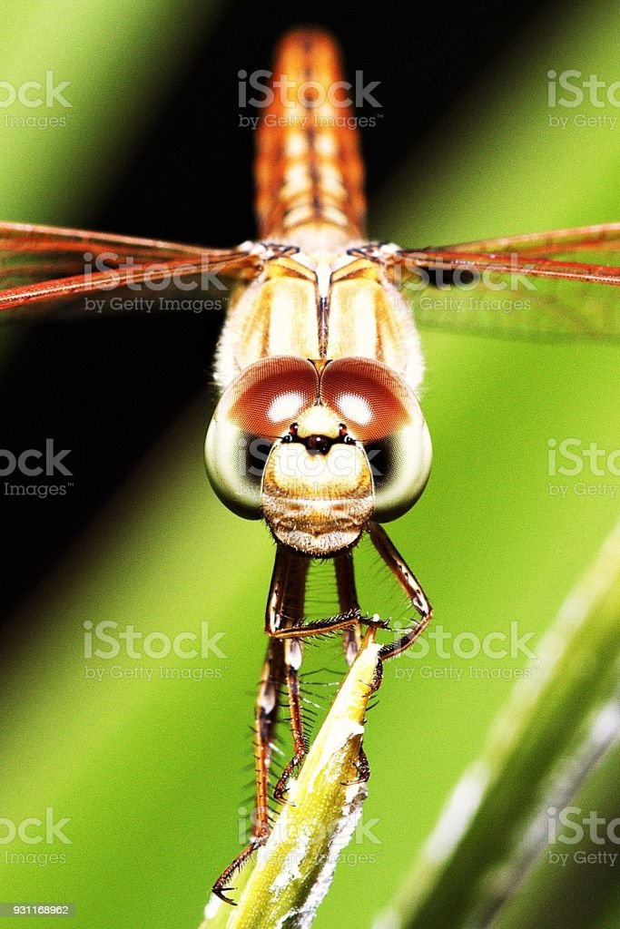 Close up dragonfly looking at camera. stock photo