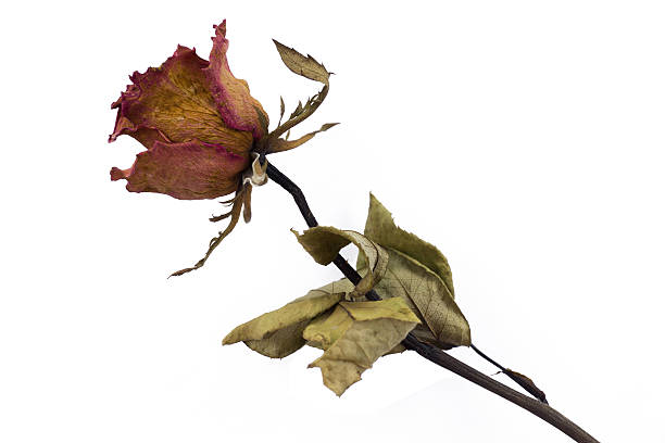 Close up dry rose picture id484870586?b=1&k=6&m=484870586&s=612x612&w=0&h=m4v9ijj w4lvqunetdbs4kivpi14at1vmywpriohug4=