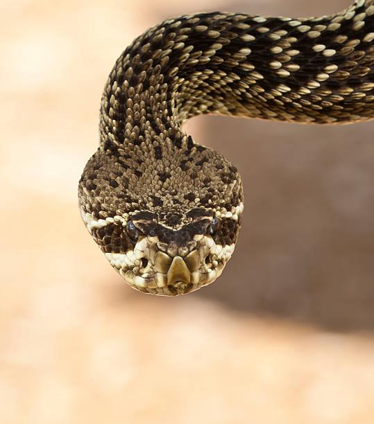Close Up Eastern Diamondback Rattlesnake stock photo