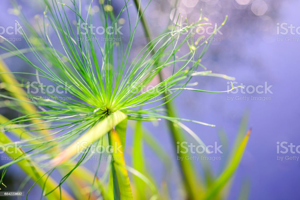 Close up  Egyptian papyrus flowers stock photo