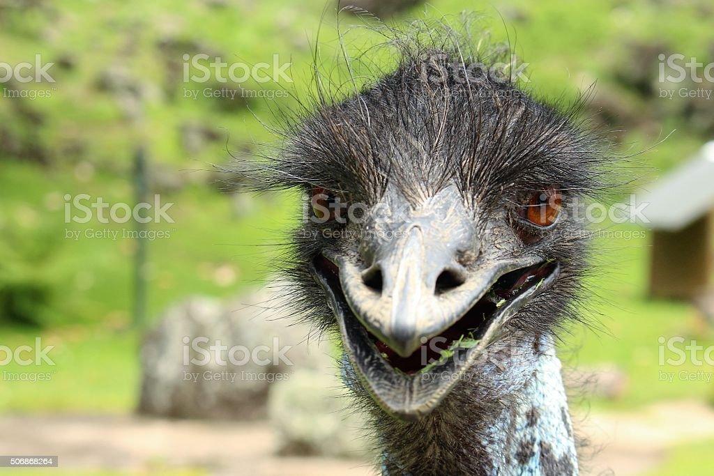 Close up emu looking at the camera stock photo