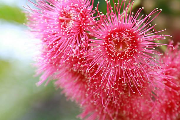 Close up eucalyptus blossom stock photo
