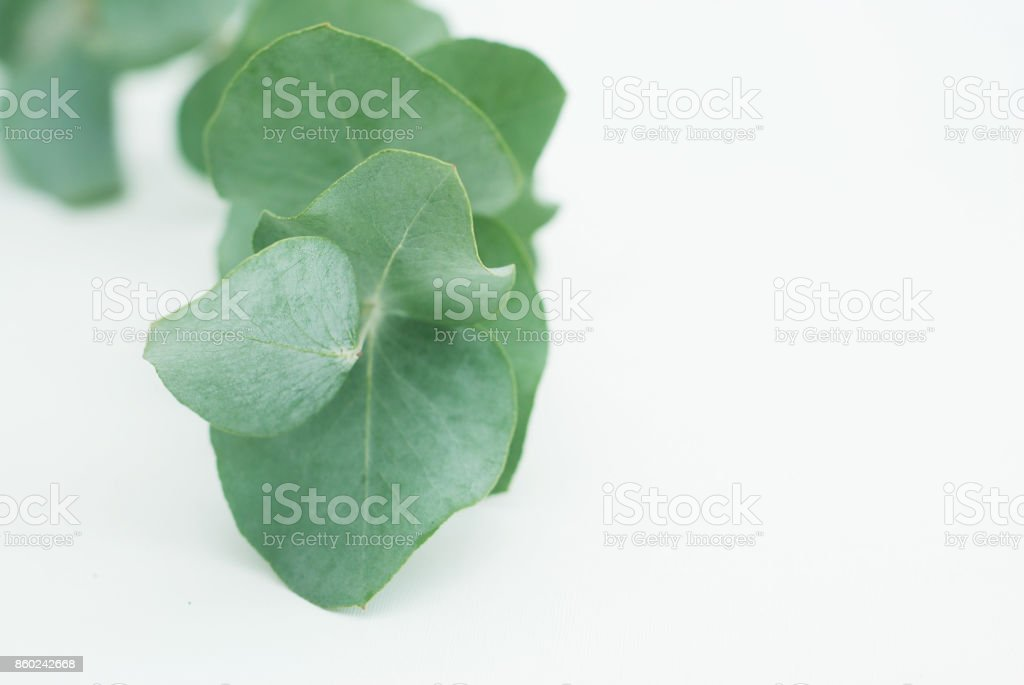 close up Eucalyptus leaves on white background stock photo