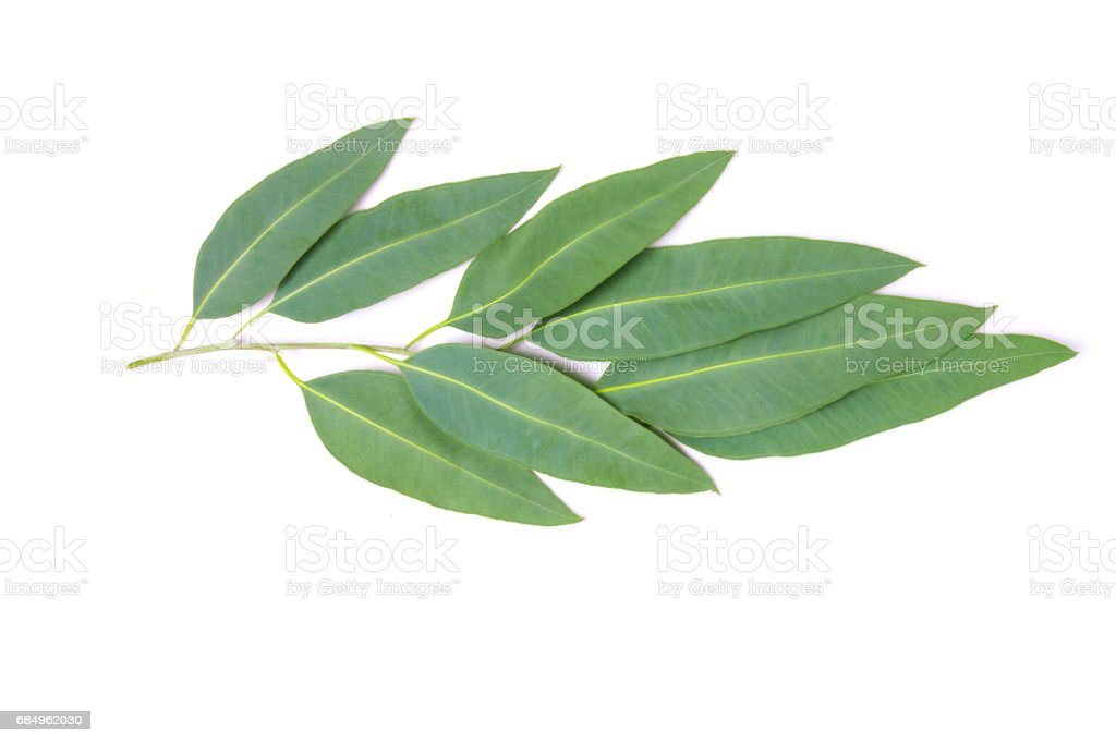 close up Eucalyptus leaves with flower on white background – Foto