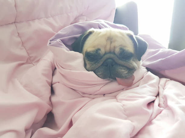 Close up face of cute dog puppy pug sleep rest on sofa bed with Close up face of cute dog puppy pug sleep rest on sofa bed with tongue out and wrap blanket because of weather cold wrapped in a blanket stock pictures, royalty-free photos & images