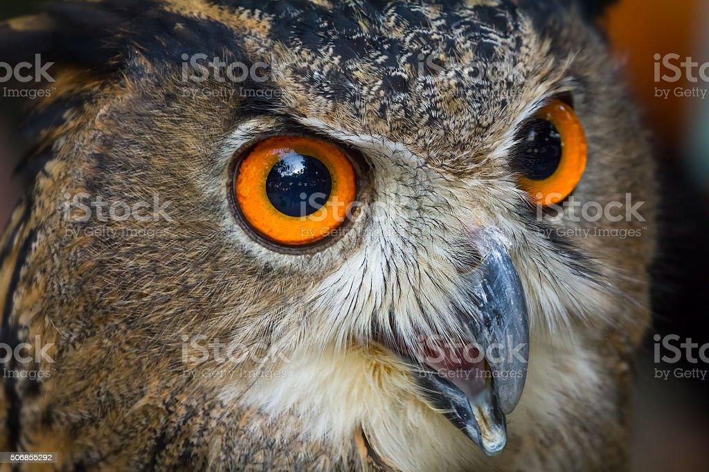 Close up face of European eagle owl stock photo