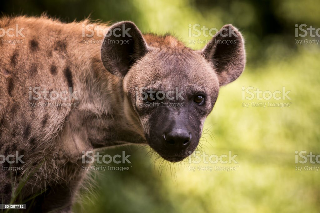 close up face of hyena  and eye looking to hunting stock photo