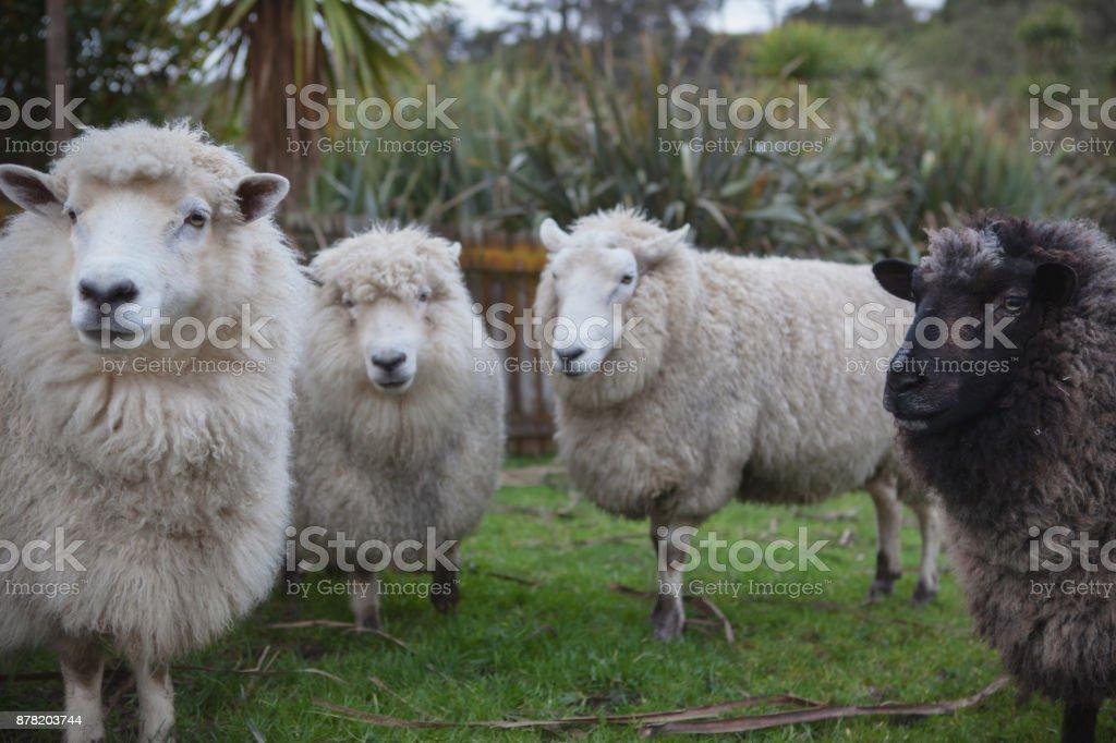 close up face of new zealand merino sheep in farm stock photo
