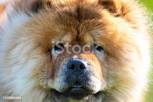 close up face portrait of a brown chow chow dog breed image photo