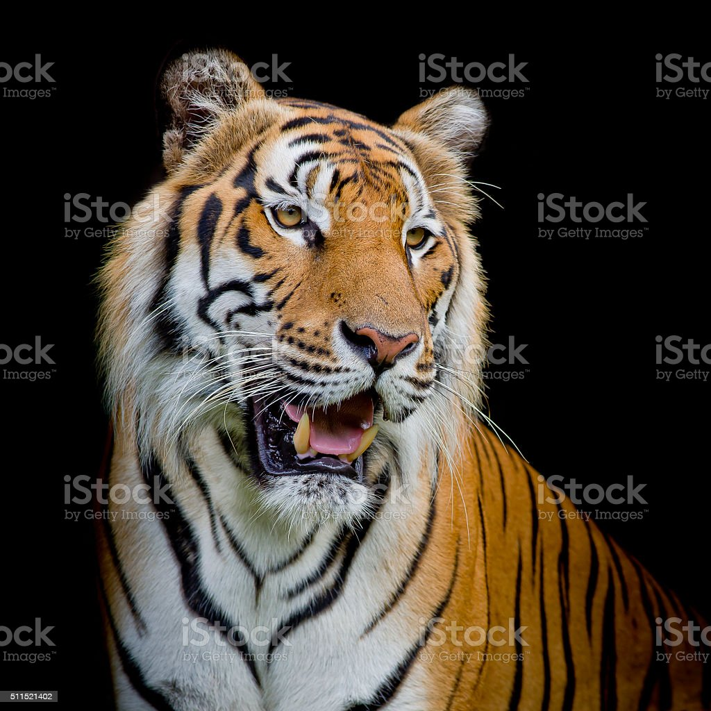 close up face tiger isolated on black background stock photo