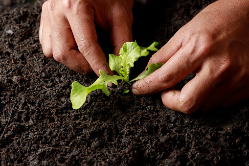 937082408 istock photo Close up Farmer hand planting sprout (Green oak lettuce) in fertile soil. 1201107293