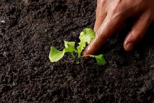 937082408 istock photo Close up Farmer hand planting sprout (Green oak lettuce) in fertile soil. 1201108642