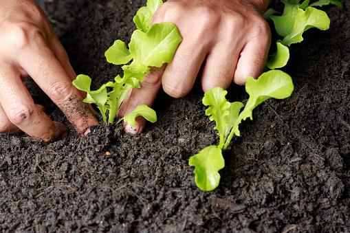 937082408 istock photo Close up Farmer hand planting sprout (Green oak lettuce) in fertile soil. 1201108655
