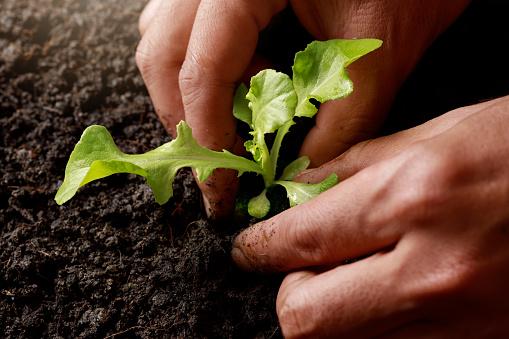 937082408 istock photo Close up Farmer hand planting sprout (Green oak lettuce) in fertile soil. 1201108673