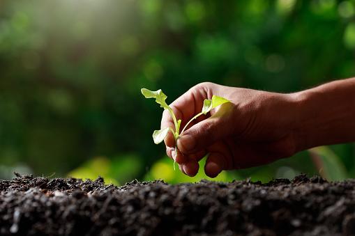 937082408 istock photo Close up Farmer hand planting sprout (Green oak lettuce) in fertile soil. 1201108689