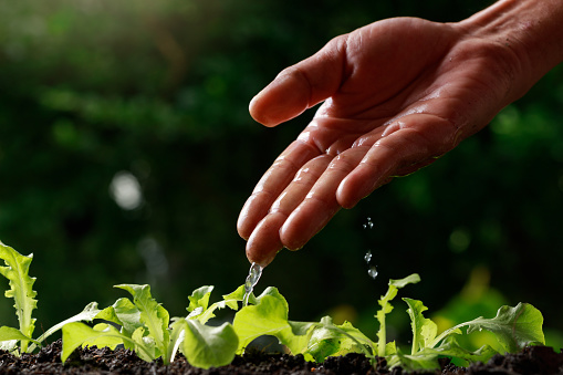 937082408 istock photo Close up Farmer Hand watering young baby Green oak, lettuce, 1201108108