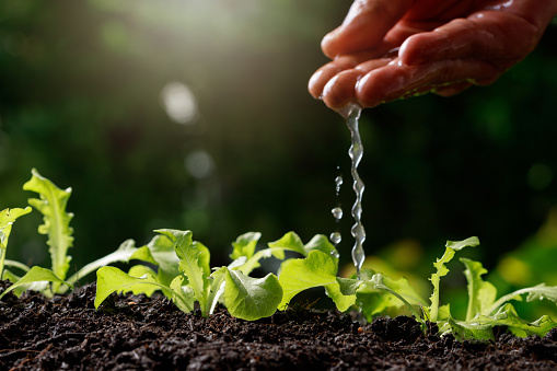 937082408 istock photo Close up Farmer Hand watering young baby Green oak, lettuce, 1201108121