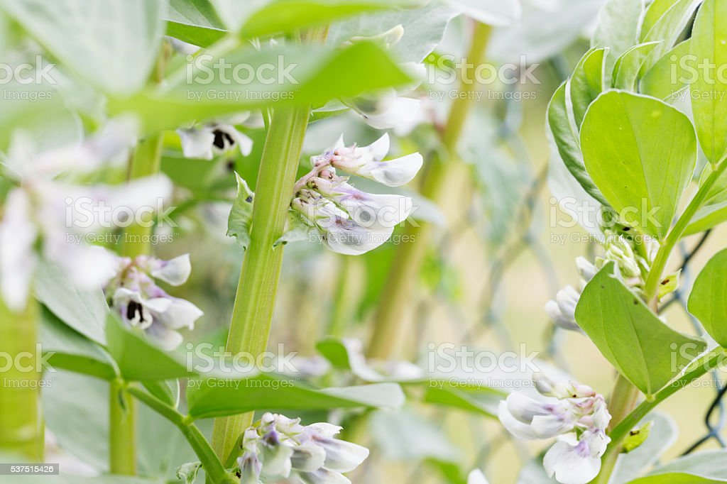 Close up fava beans blossom stock photo