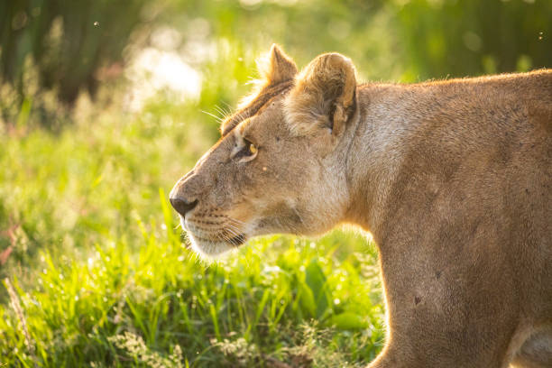 Close up female lioness walking through grass stock photo