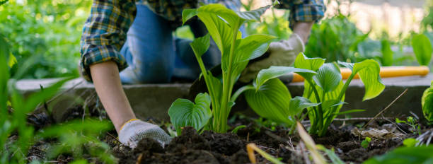 close up female planting decorative plant with huge leaves in the soils stock photo