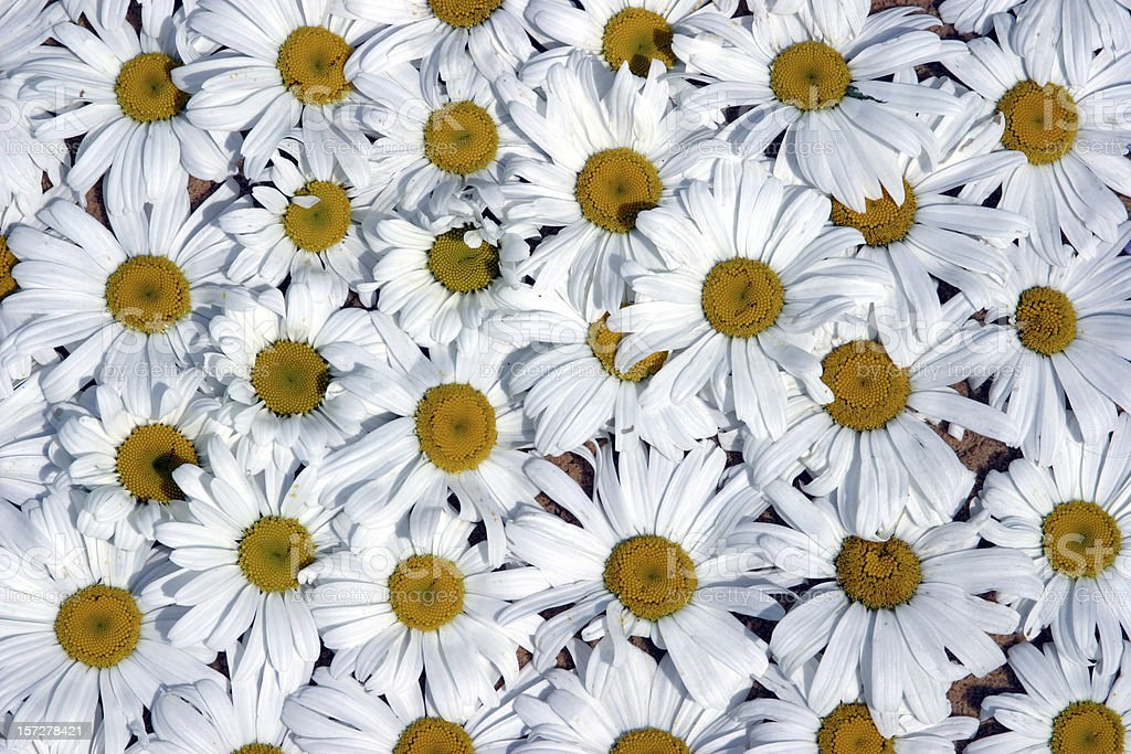 Close up field of white and yellow daisies royalty-free stock photo